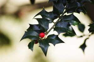 Late Winter Holly 2 by Hertz18360