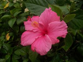 A Pink Hibiscus from Florida by mulletrobz