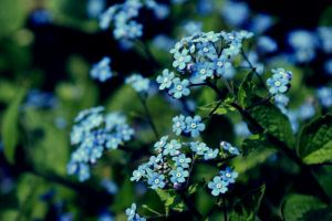 forget me not by ketroI