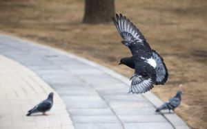 Pidgeon 1 by Bambr