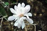 Star magnolia by dpt56