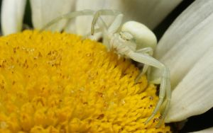 Misumena vatia IX by webcruiser