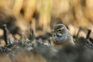 Bluethroat by toul24