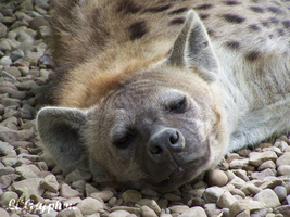 Spotted Hyena by lilgryphon23