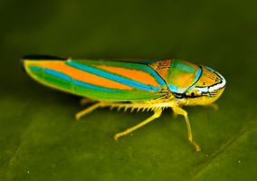 Colorful Leaf Hopper by otas32