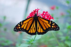 Monarch Butterfly Stock 2 by chamberstock
