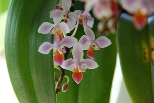 orchide00020 by Tosca-stock