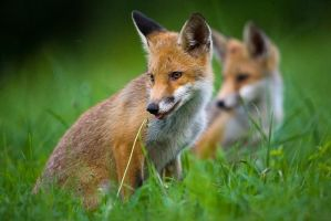 Foxes by JMrocek