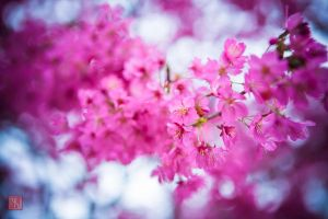 Pink Spring by vnt87