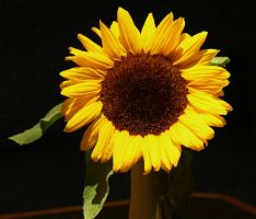 sunflower stock image by Nexu4