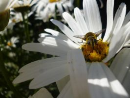 Hoverfly on a oxeye daisy by Candyfloss-Unicorn