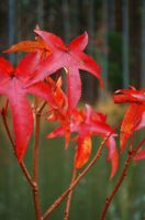 Red Forest Leaves by Bawwomick
