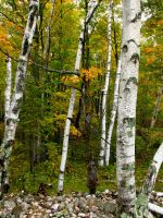 Birch Trees by jldyr
