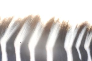 A Zebra Is Black With White Stripes by LittleKidd