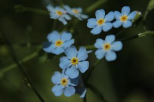 Forget-Me-Not 1 by wuestenbrand