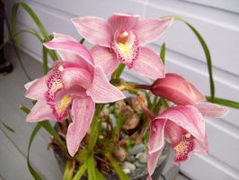 More Cymbidium Red by Applemac12