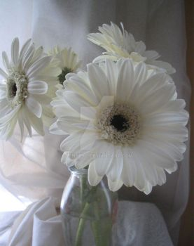 white gerbera daisies by jenneyc