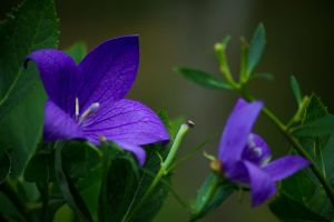 Violet bell flower by sztewe