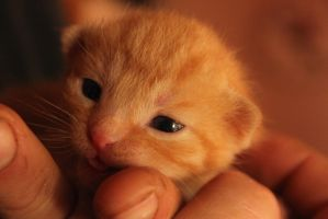 ginger kitten by OreoKitty1