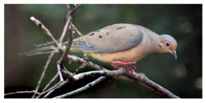 Mourning Dove Checking Out the Leftovers by richardcgreen