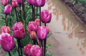tulip festival 5 by JensStockCollection