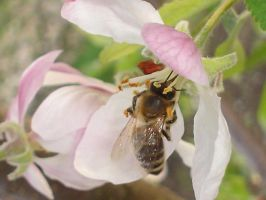 Bee and apple tree by sefeli
