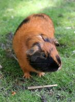 Guinea pig 3 by Camera-Pete