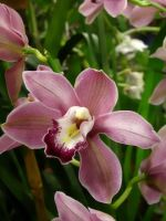 Orchid Series 8 by Formel