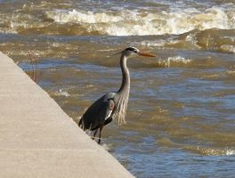 Mr. Heron by mr-lacombe
