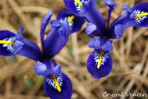 Small Irises by poetcrystaldawn