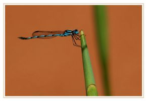 Damselfly by AdamsWife