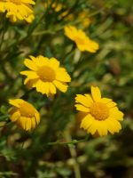 Unknown Yellow Flower 01 by botanystock