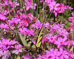 Swallowtail on Thrift by Rjet33