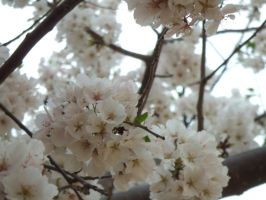 Cherry Blossoms of DC: Part 1 by JennHolton