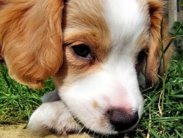 Puppy 2 by Becky125