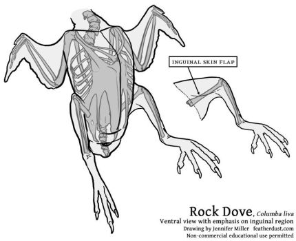 Rock Dove - Ventral Anatomy by Nambroth