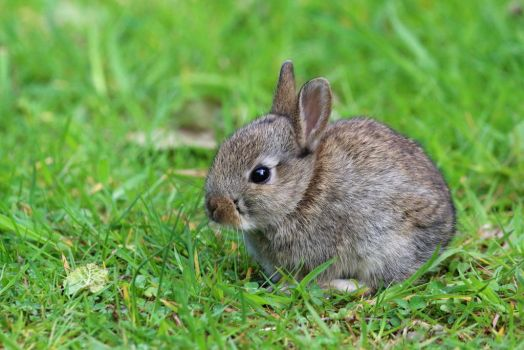 Baby Rabbit 22-5-17 by pell21