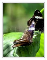 Butterflies 2 by lehPhotography