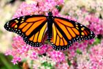 Monarch Butterfly #4 by Aroha-Photography