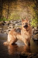 German Shepherd Forest by Ben4photo