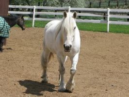White Draft Horse 5 by Syeiraxx