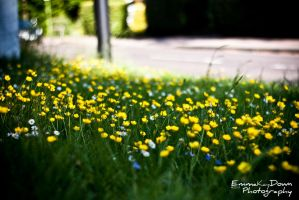 Buttercup line the road. Day 150 - 30/05/13 by oEmmanuele