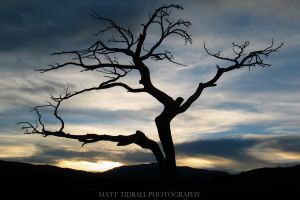 Burmis Tree 2 by mattTIDBALL