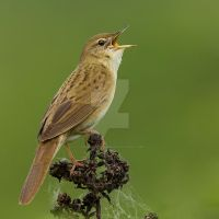 Spring is coming - Grasshopper warbler by Jamie-MacArthur