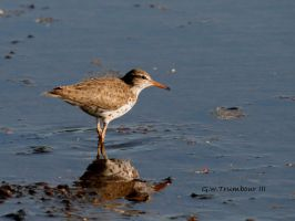 Spotted Sandpiper I by natureguy
