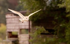 Barn Owl by Hawkeye2011