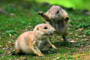 fighting prairie dogs by forgot-to-be-human2