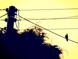 Pigeon on a wire by lucyparryphotography