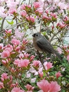 Tufted Titmouse Enjoys Azaleas by Darkendrama