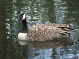 goose 2 by TimeWizardStock
